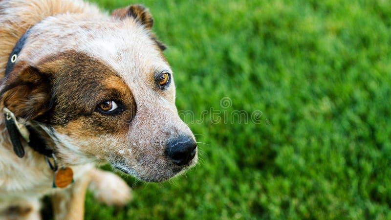 Cão que olha acima em você fotografia de stock