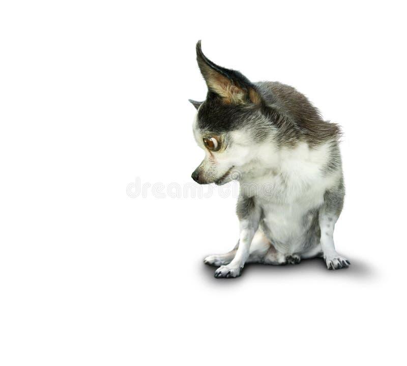Cão que olha direito ou esquerdo