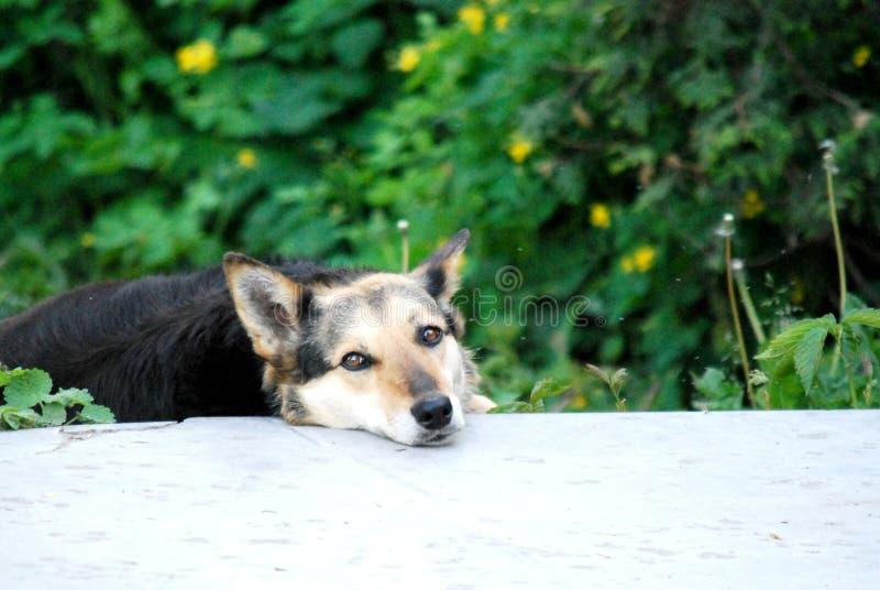 Cão que olha o fotos de stock
