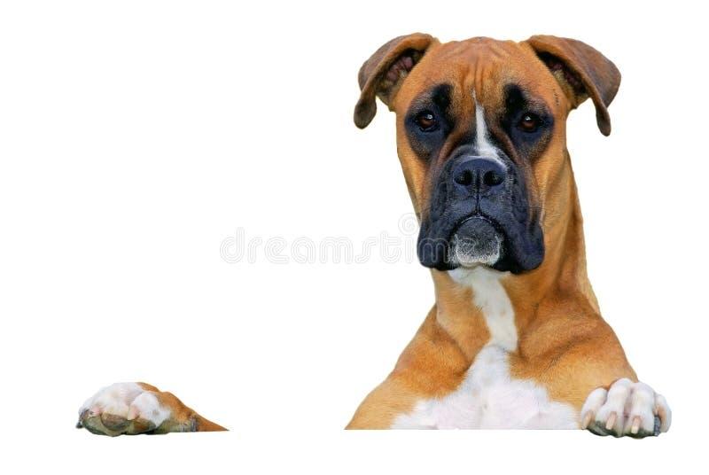 Cão que olha o fotos de stock royalty free