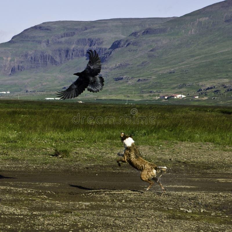 Cão que persegue um corvo em Icland imagens de stock