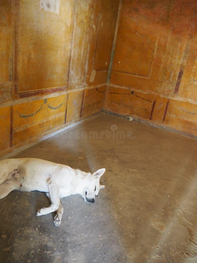 Cão que protege-se do calor nas ruínas de Pompeii, Itália fotografia de stock royalty free