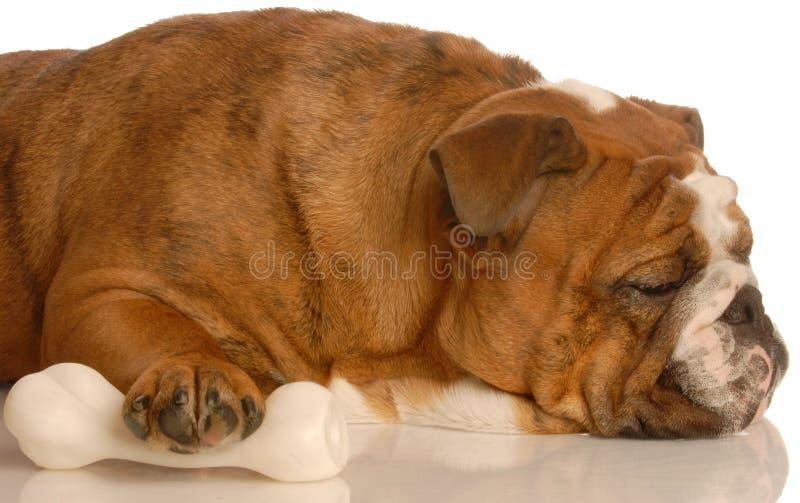 Cão que protege seu osso fotos de stock