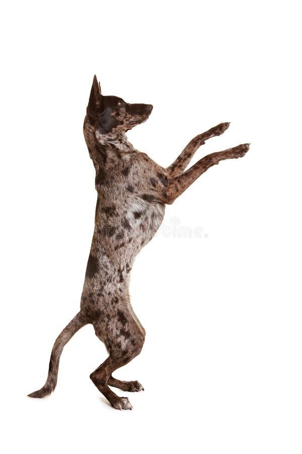 Cão que senta-se acima e que implora fotos de stock royalty free
