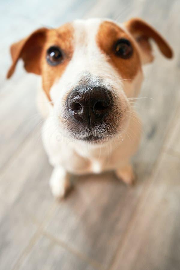 Cão que senta-se e que olha fielmente fotos de stock