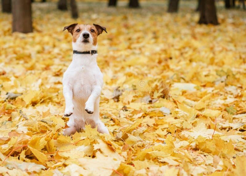 Cão que senta-se nos pés traseiros em implorar a pose no parque do outono da queda fotos de stock royalty free
