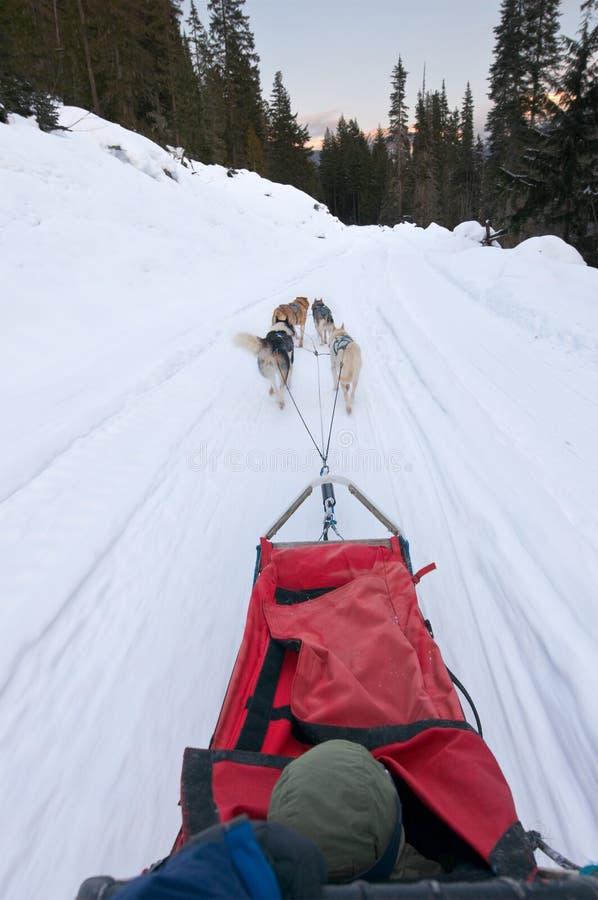 Cão que sledding da perspectiva do excitador imagem de stock