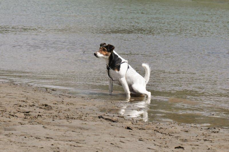 Cão que urina no rio fotografia de stock royalty free