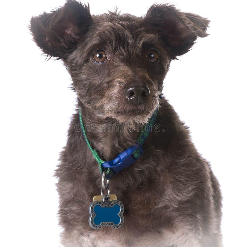 Cão que veste um colar com uma etiqueta do nome foto de stock