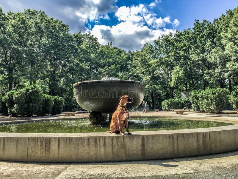 Cão rajado do pugilista na fonte fotografia de stock royalty free
