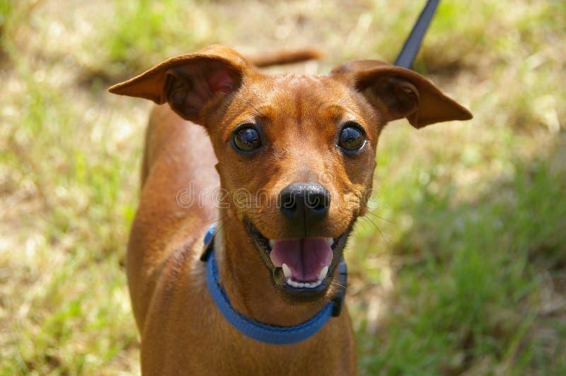 Cão revestido curto de Brown na fotografia macro fotografia de stock royalty free