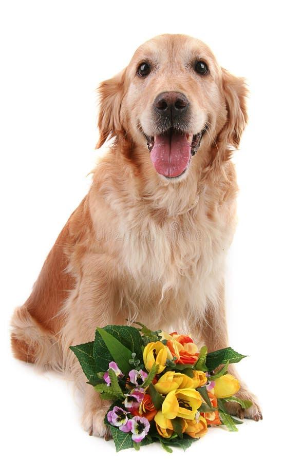 Cão romântico foto de stock royalty free