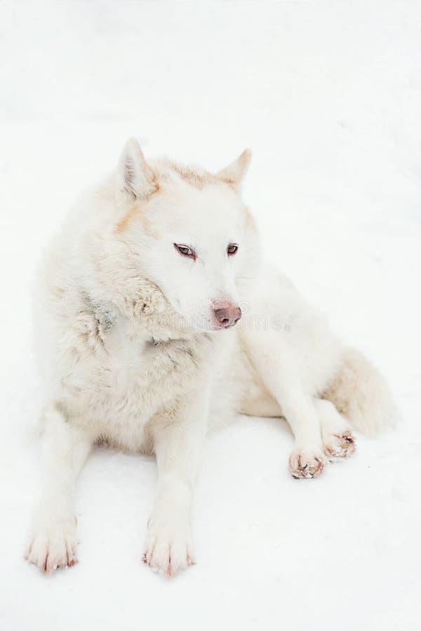 Cão ronco branco que encontra-se na neve foto de stock royalty free