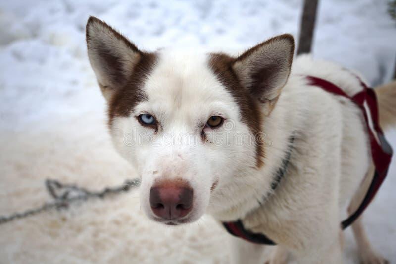 Cão ronco com os olhos de cores diferentes imagem de stock royalty free