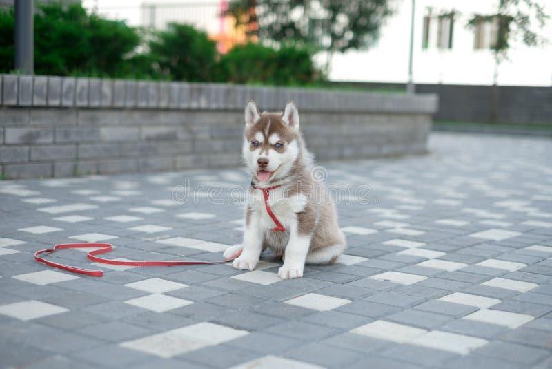 Cão ronco do cachorrinho pequeno na rua foto de stock