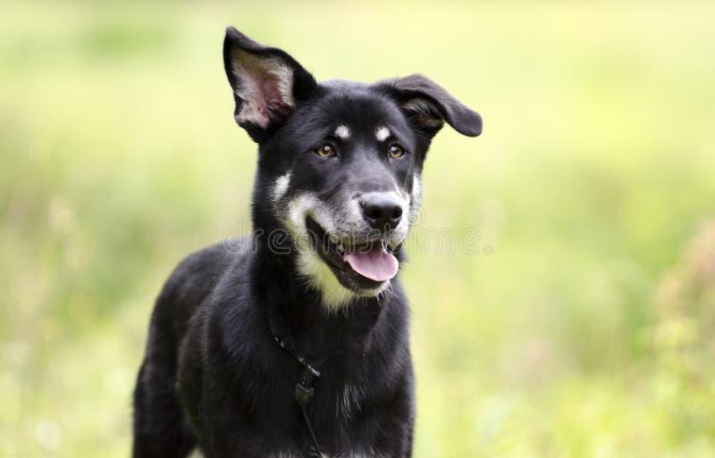 Cão ronco feliz da raça da mistura, fotografia da adoção do salvamento do animal de estimação foto de stock