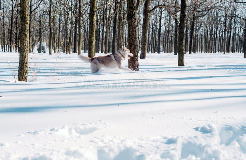 cão ronco na madeira no inverno fotografia de stock royalty free