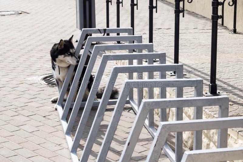 C?o ronco preto e branco que senta-se no passeio imagem de stock