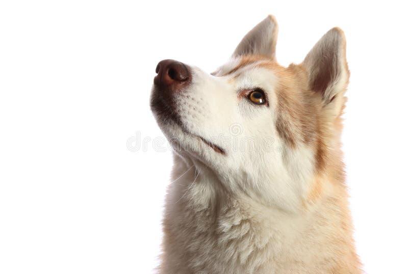 Cão ronco que olha acima imagem de stock royalty free