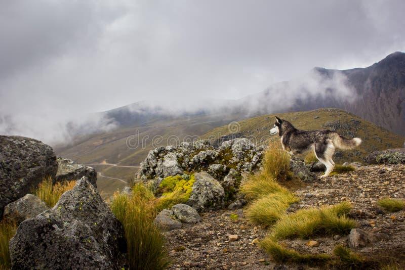 Cão ronco que olha a paisagem na montanha imagens de stock