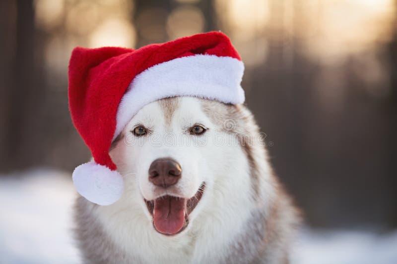 Cão ronco Siberian bonito, engraçado e feliz com os olhos fechados no chapéu vermelho de Papai Noel do Natal no por do sol dourad imagens de stock royalty free
