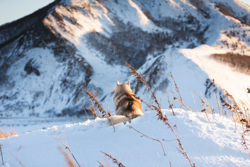 Cão ronco siberian bonito, feliz e livre que encontra-se no monte de volta à câmera na grama murcho no por do sol fotos de stock