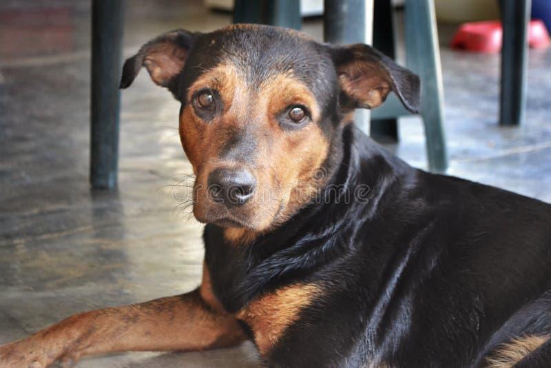 Cão Rottweiler preto fêmea foto de stock