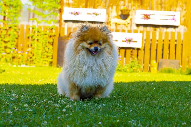 Cão ruivo do Spitz no verão no gramado na luz do sol brilhante foto de stock royalty free
