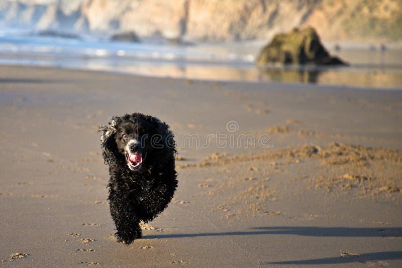 Download Cão Running imagem de stock. Imagem de sunset, lingüeta - 12802511