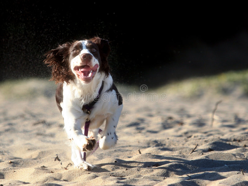Cão Running fotos de stock