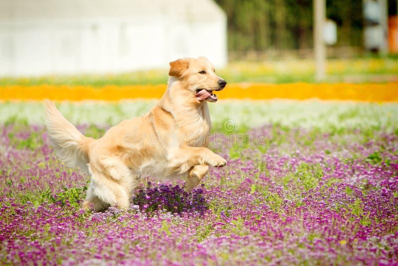 Cão Running do retriever dourado imagens de stock royalty free