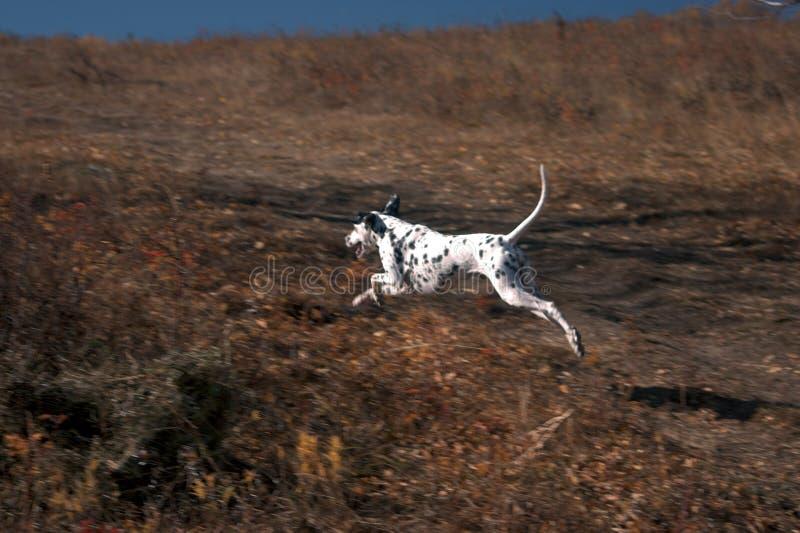 Cão Running em grassland-1 foto de stock