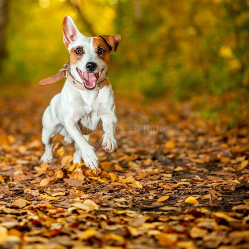 Cão running no outono fotos de stock
