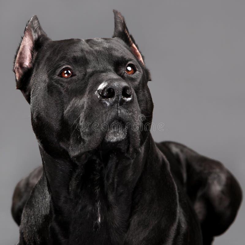 Cão sábio humilde do pitbull foto de stock