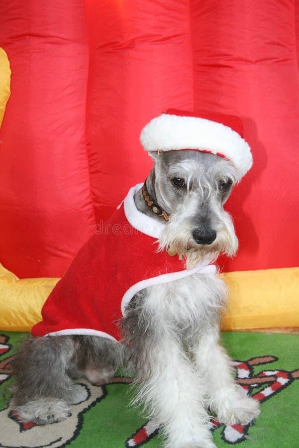 Cão Santa do Schnauzer fotos de stock