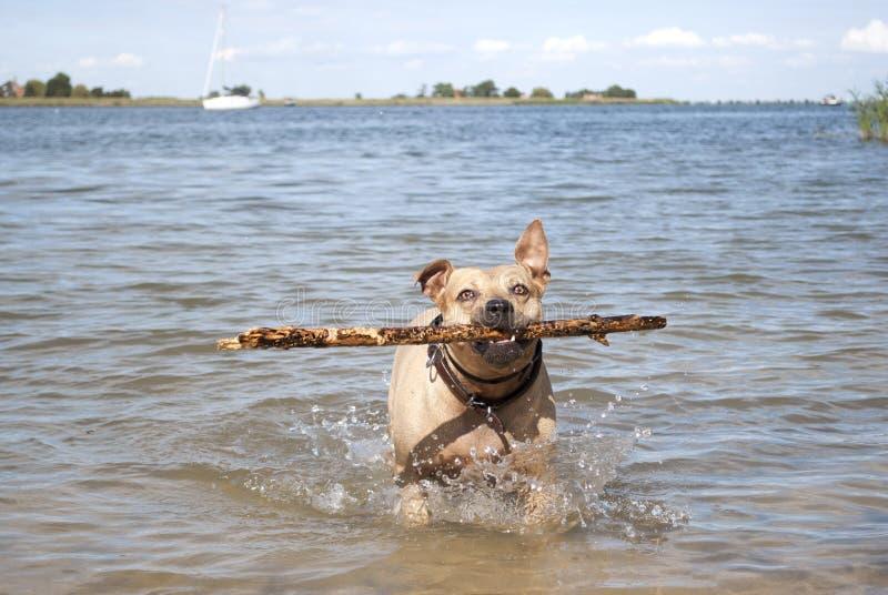 Cão saudável feliz do terrier de Staffordshire, jogando e nadando com a vara na água no parque fotografia de stock royalty free