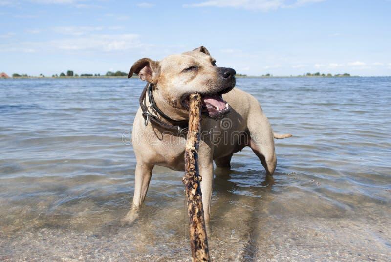 Cão saudável feliz do terrier de Staffordshire, jogando e nadando com a vara na praia no parque fotos de stock royalty free