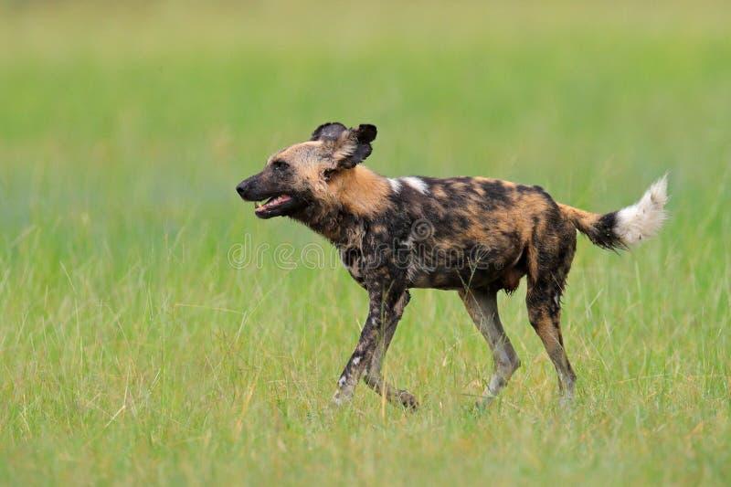 Cão selvagem africano, andando na grama verde, deta de Okacango, Botswana, África Animal manchado perigoso com orelhas grandes Pa fotografia de stock