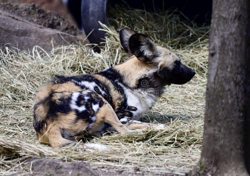 Cão selvagem africano de descanso imagem de stock