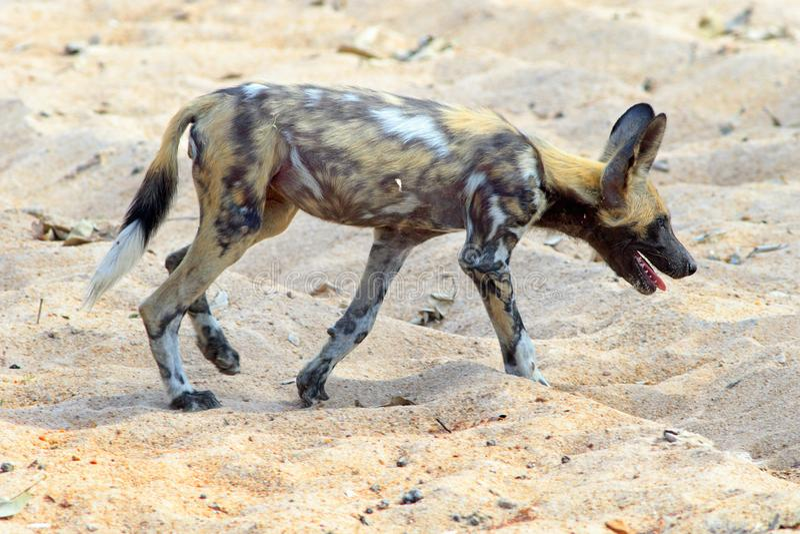 Cão selvagem africano - igualmente conhecido como cão pintado que anda através das planícies empoeiradas secas na Zâmbia imagens de stock