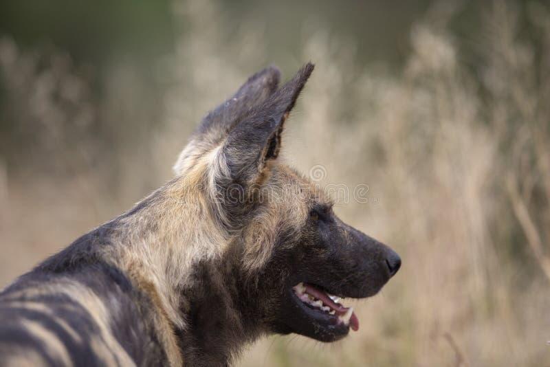 Cão selvagem africano no movimento imagem de stock