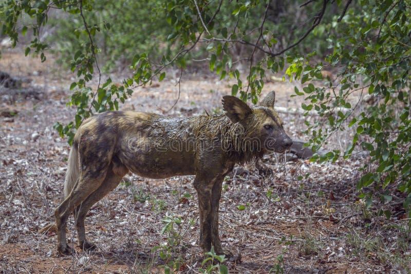 Cão selvagem africano no parque nacional de Kruger, África do Sul fotografia de stock