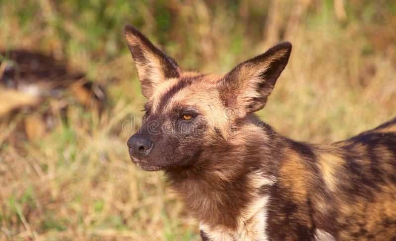 Cão selvagem africano (pictus de Lycaon) fotografia de stock royalty free
