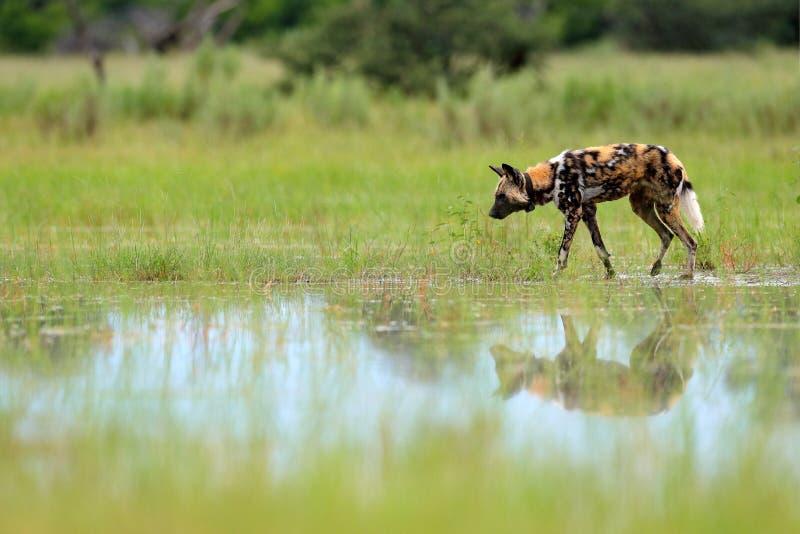 Cão selvagem africano, pictus de Lycaon, andando no lago Caçando o cão pintado com orelhas grandes, animal selvagem bonito no hab imagem de stock