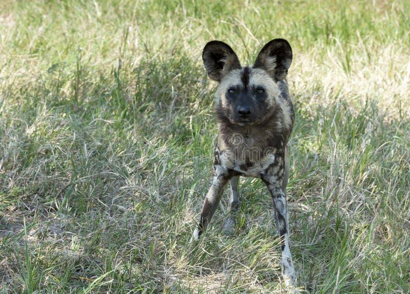Cão selvagem africano que está e que olha fixamente no parque selvagem do safari da vida fotografia de stock