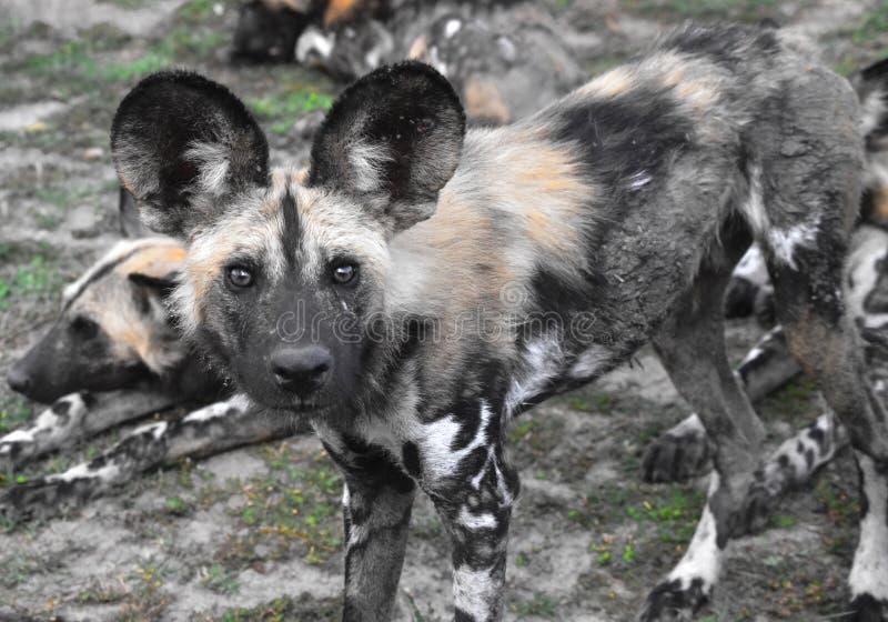 Cão selvagem de olhos brilhantes imagem de stock royalty free