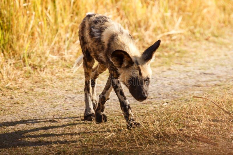 Cão selvagem - delta de Okavango - Moremi N P fotografia de stock royalty free