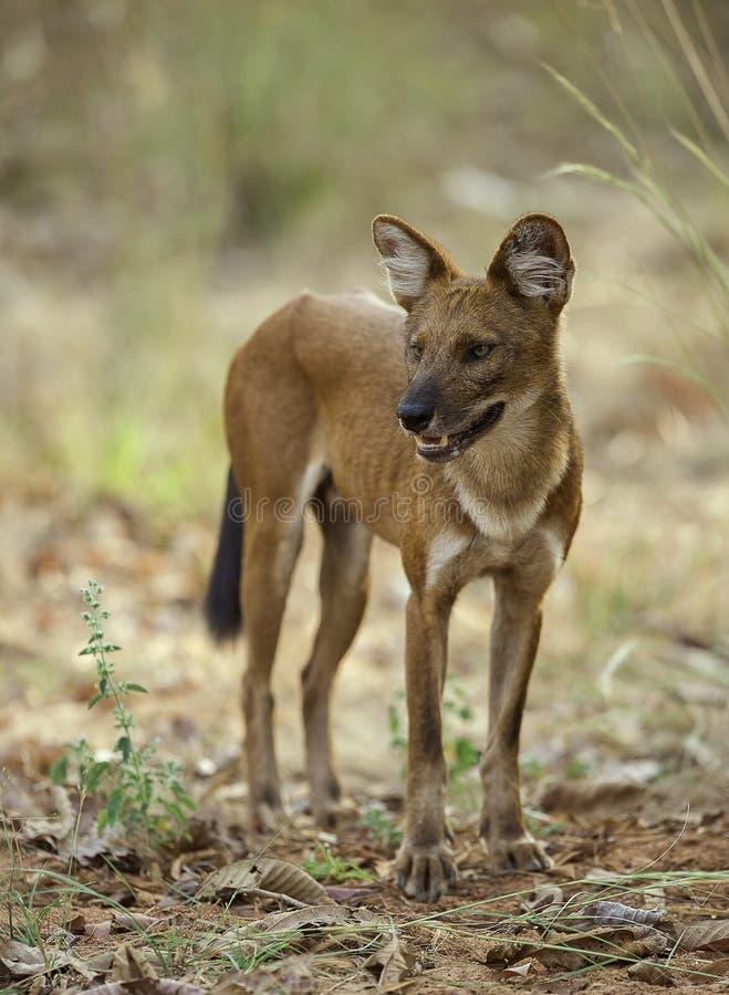 Cão selvagem indiano que olha para fora para a rapina imagens de stock royalty free