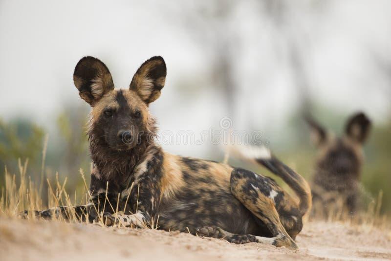 Cão selvagem (pictus de Lycaon) que encontra-se para baixo fotografia de stock royalty free