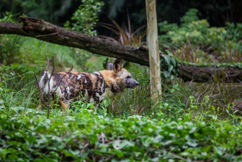 Cão selvagem pintado africano fotos de stock royalty free